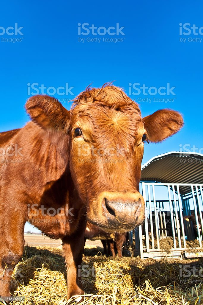 friendly cattle on straw with blue sky royalty-free stock photo