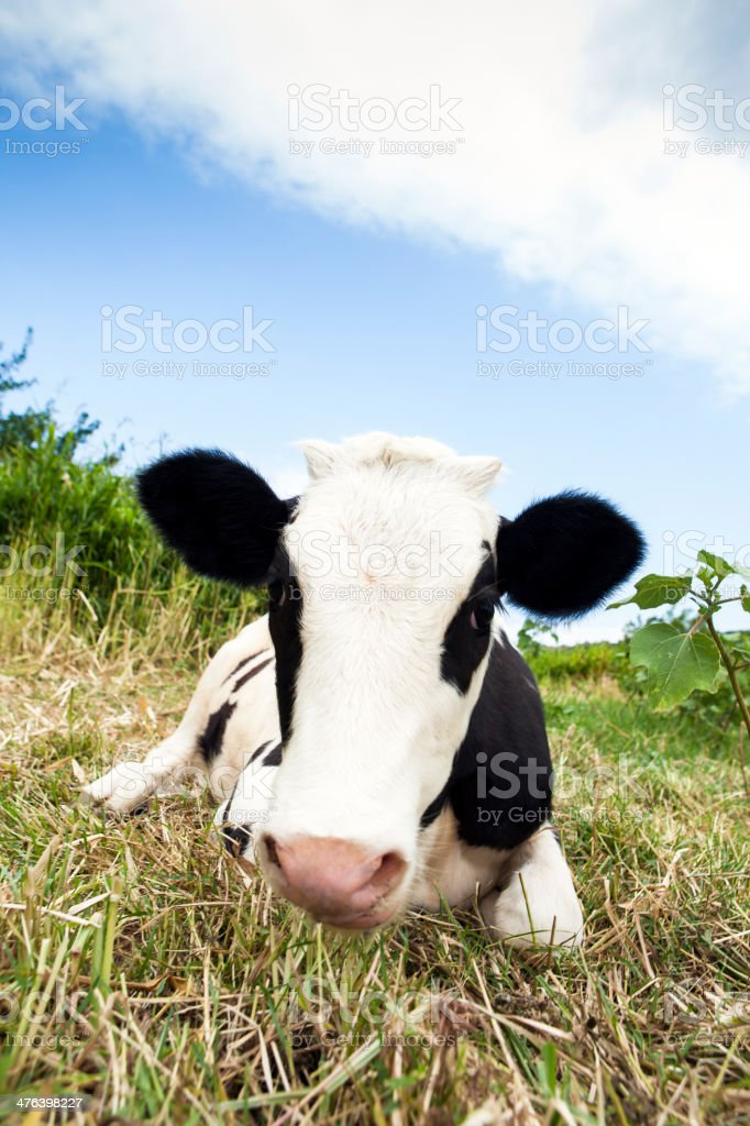 Friendly cow royalty-free stock photo