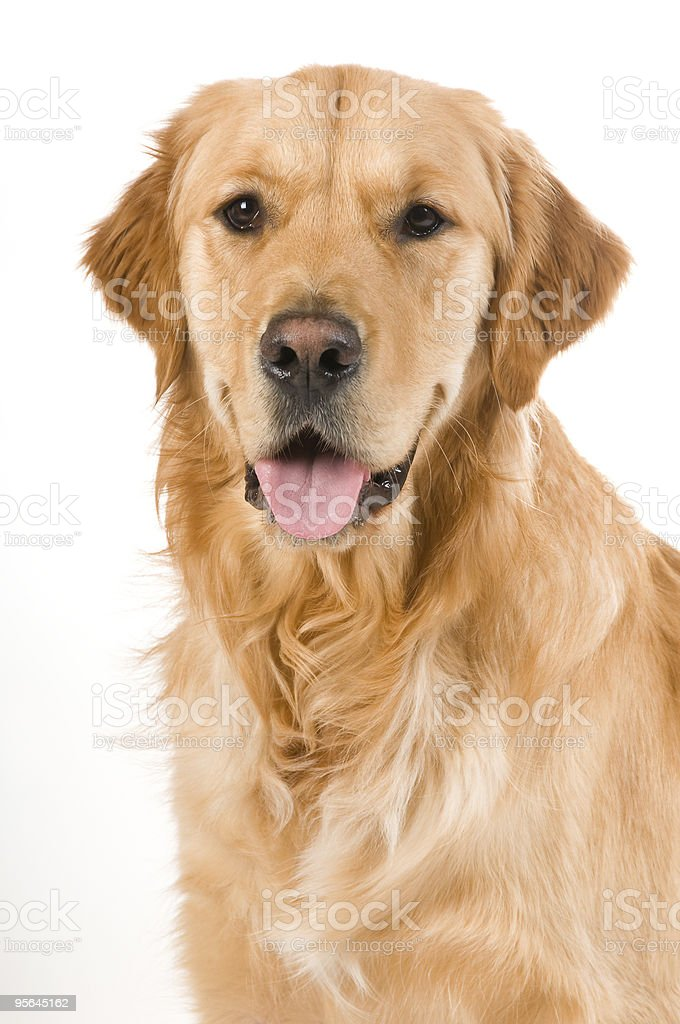Friendly Golden Retriever royalty-free stock photo