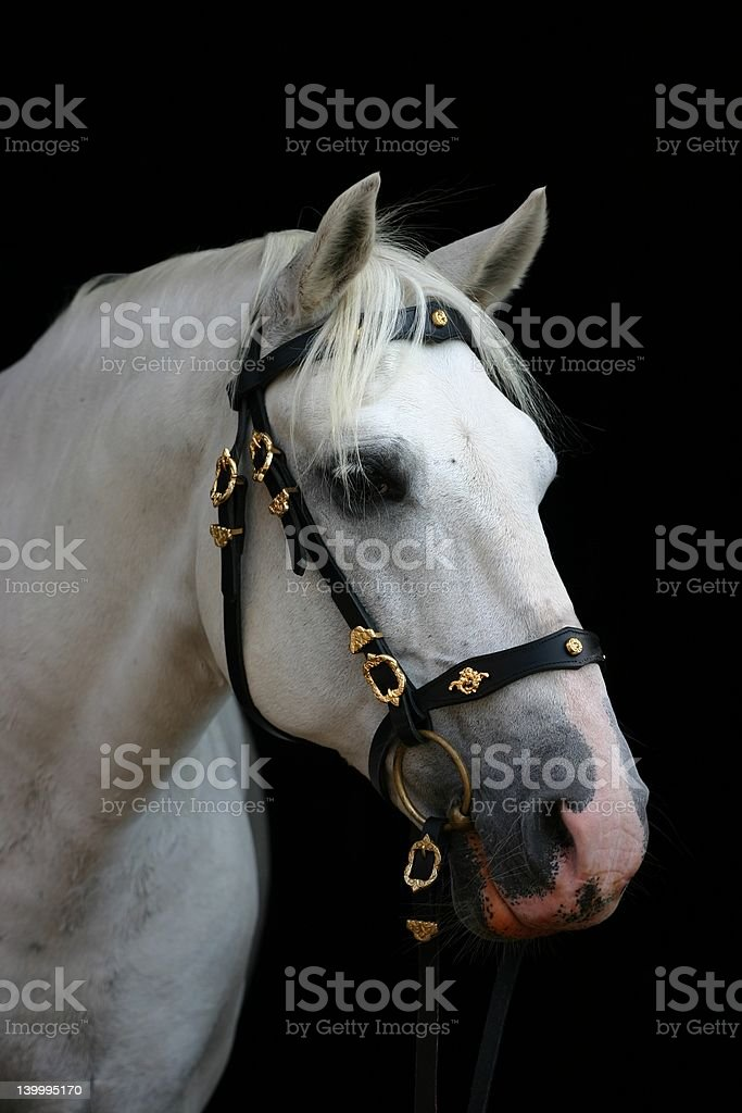 Friendly grey andalusian stock photo