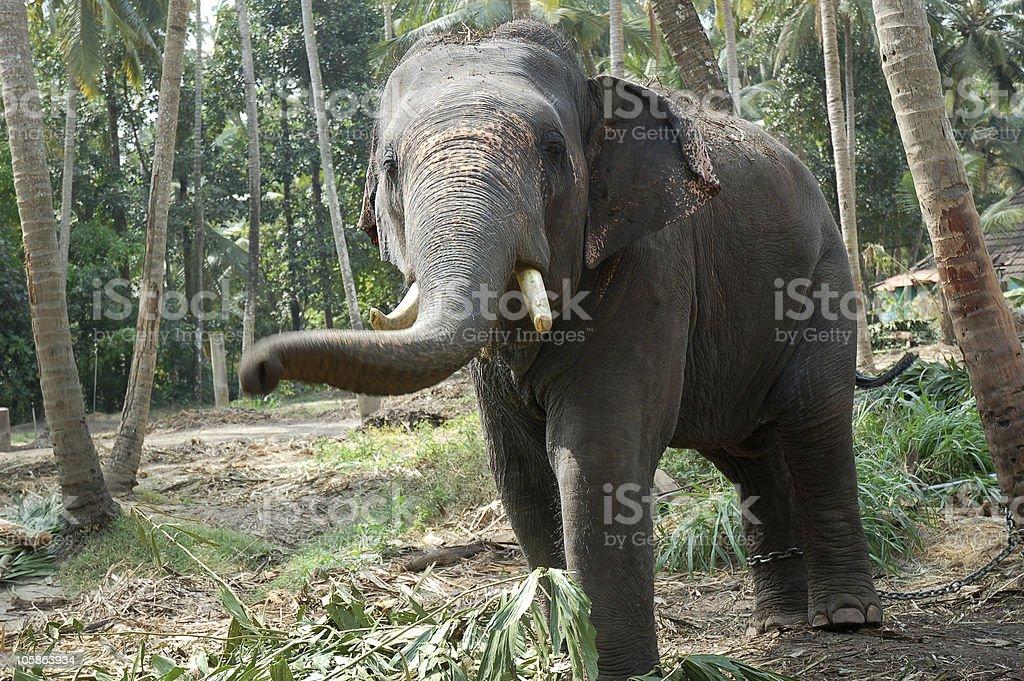 Friendly Indian Elephant stock photo