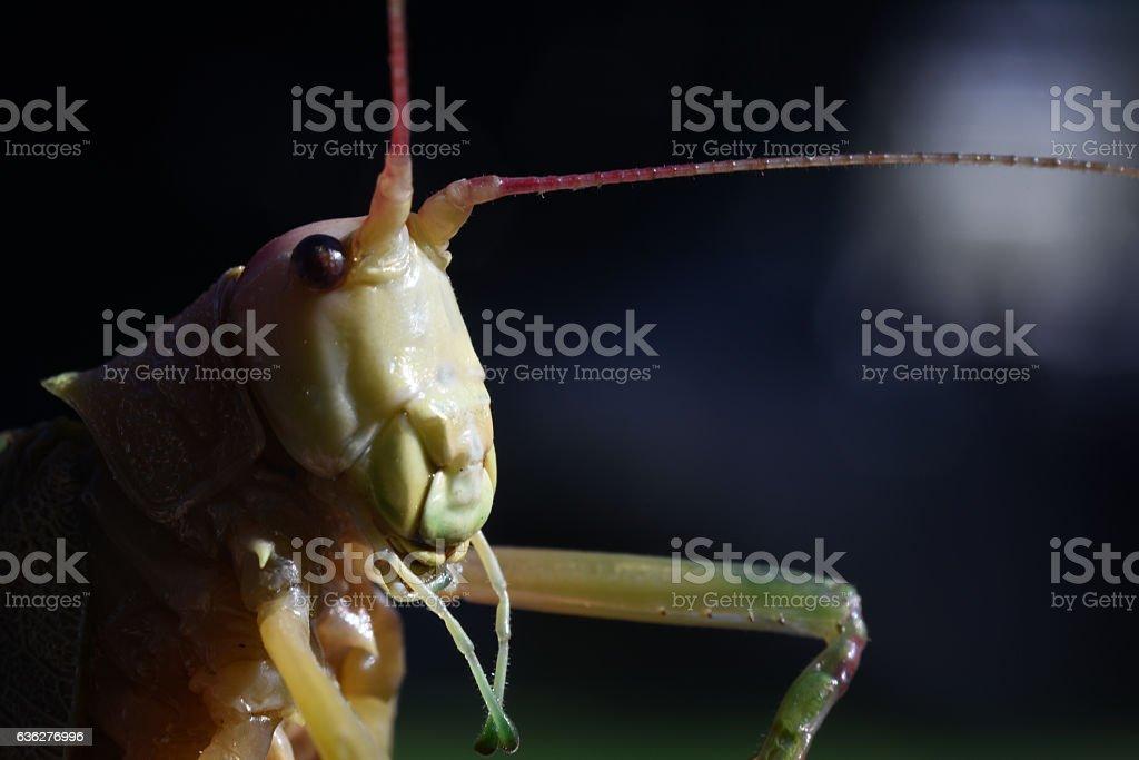 Friendly Katydid stock photo
