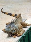 friendly lizard shot at Zoo Atlanta in Georgia USA