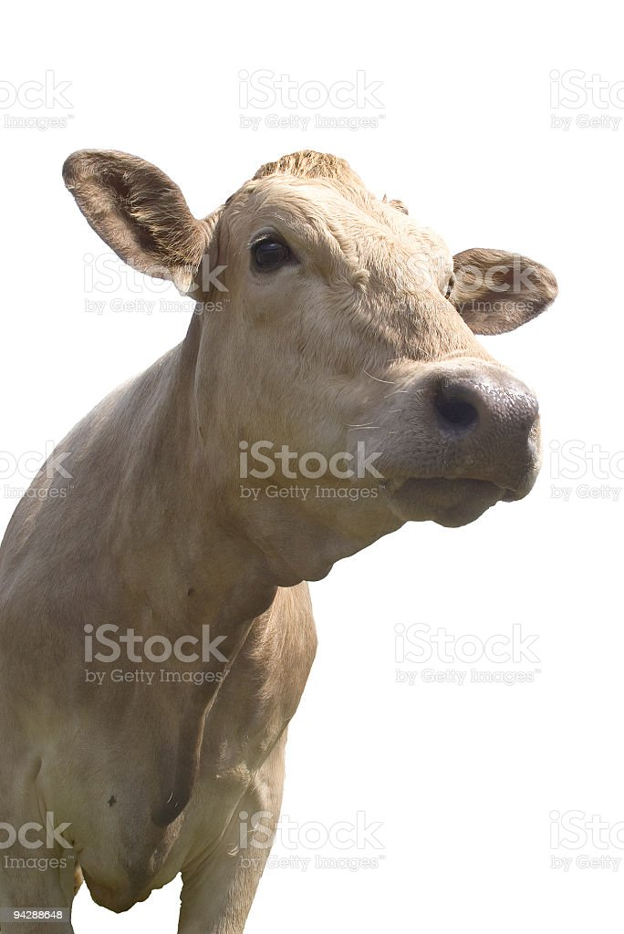 Friendly looking cow royalty-free stock photo
