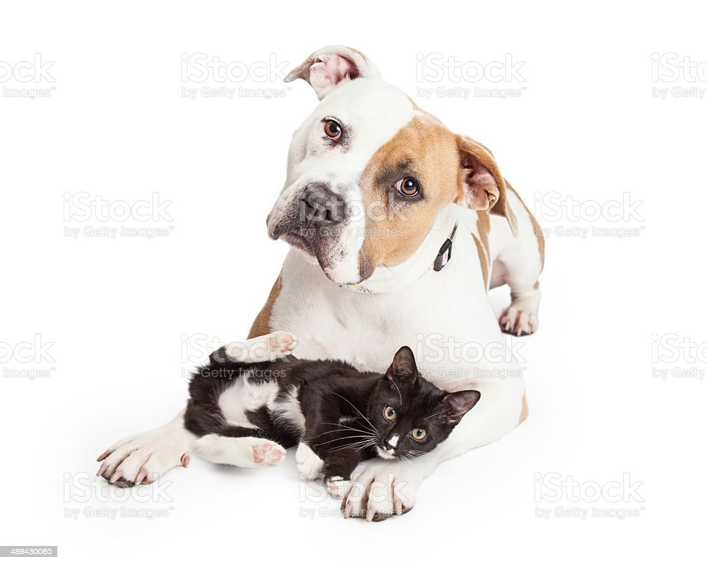 Friendly Pit Bull Dog and Affectionate Kitten stock photo