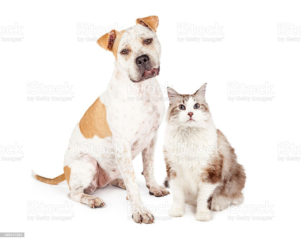 Friendly Pit Bull Dog and Pretty Cat stock photo