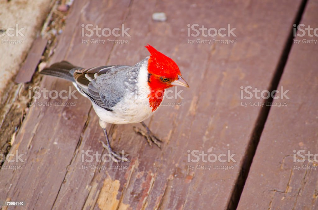 Friendly Red-crested Cardinal stock photo