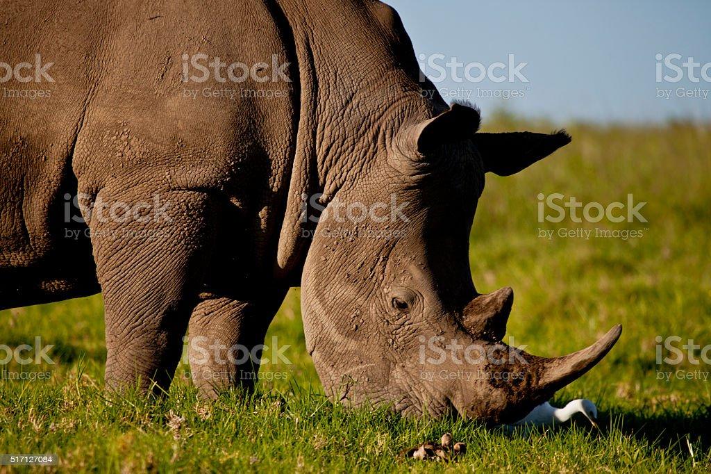 Friendly Rhino stock photo