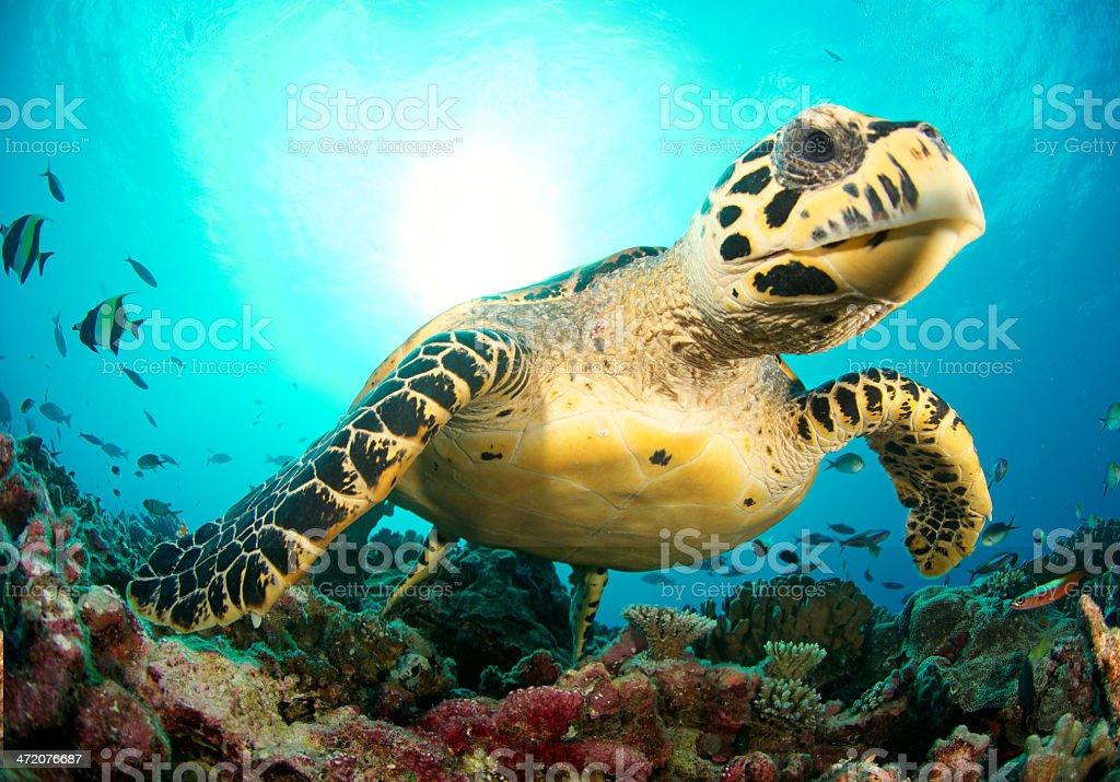 friendly sea turtle stock photo