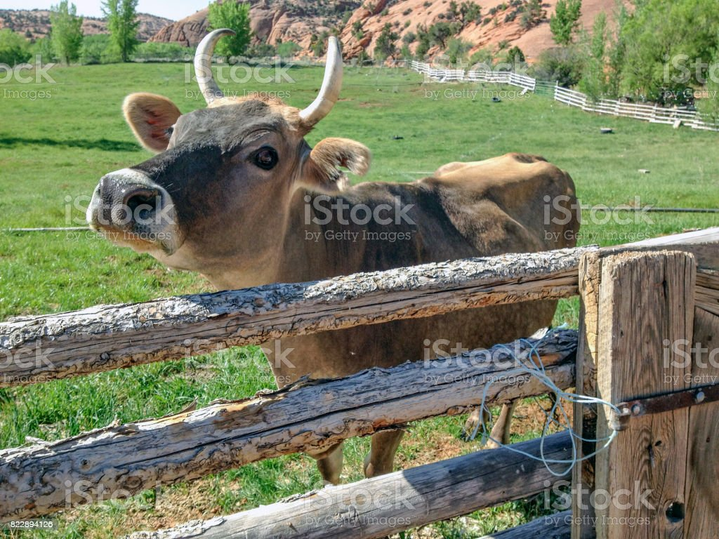 Friendly steer stock photo