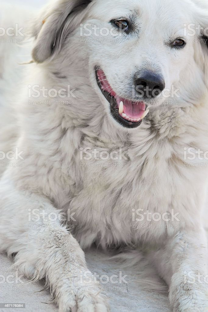 Friendly White Dog stock photo