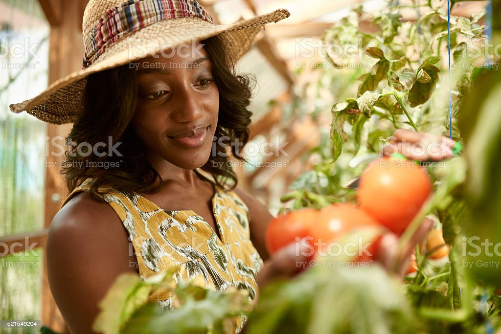 Friendly woman harvesting fresh tomatoes from the greenhouse garden putting stock photo