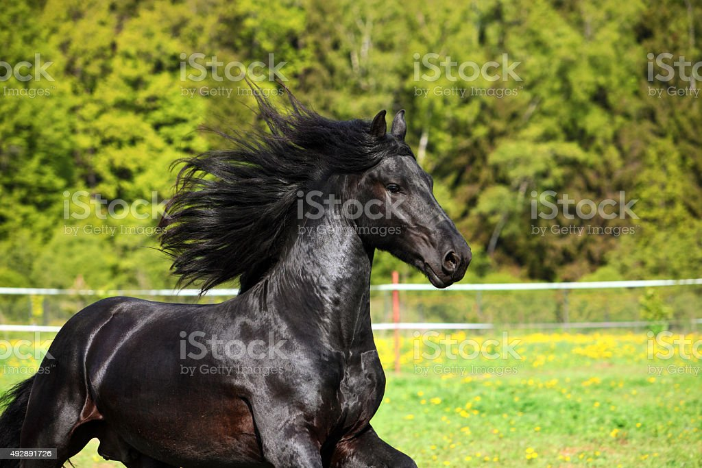 Friesian black horse in autumn background stock photo