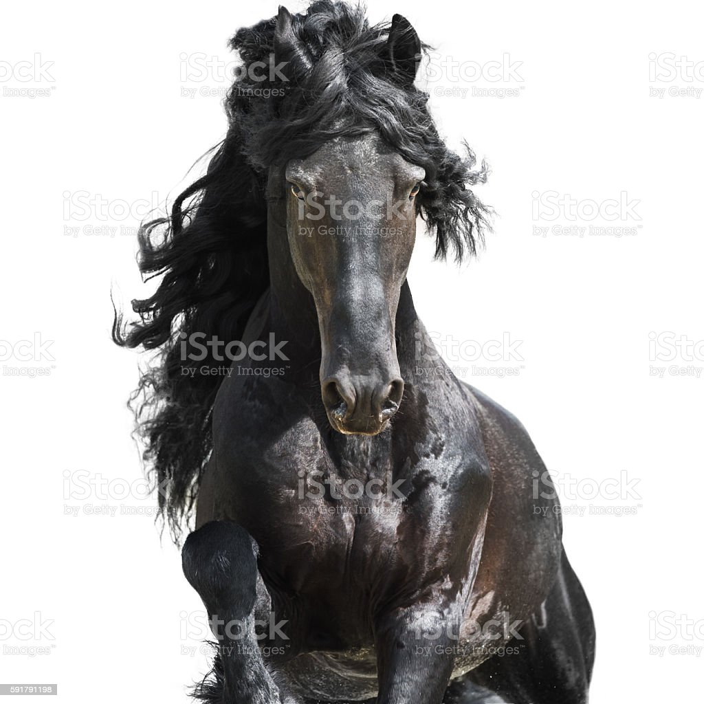 Friesian black horse isolated on the white stock photo
