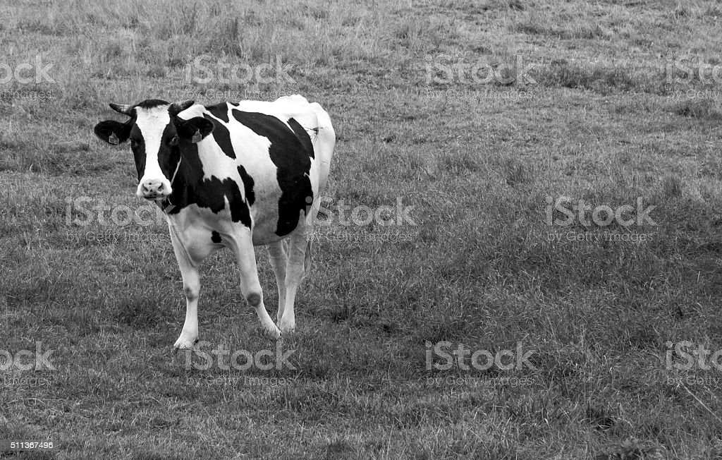 Friesian cow dancing in a field, black and white heifer stock photo