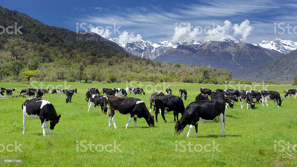 friesian cows stock photo