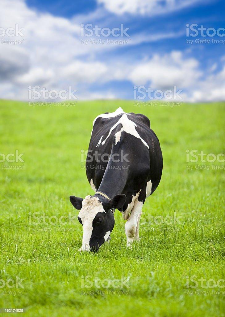 Friesian Holstein Cow stock photo