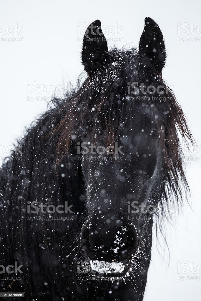 Friesian horse and snowfall stock photo