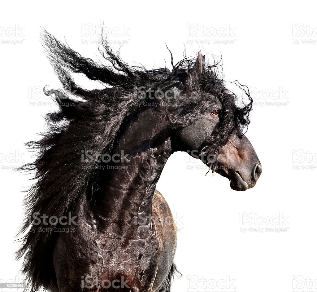 friesian horse portrait with long mane isolated on white stock photo