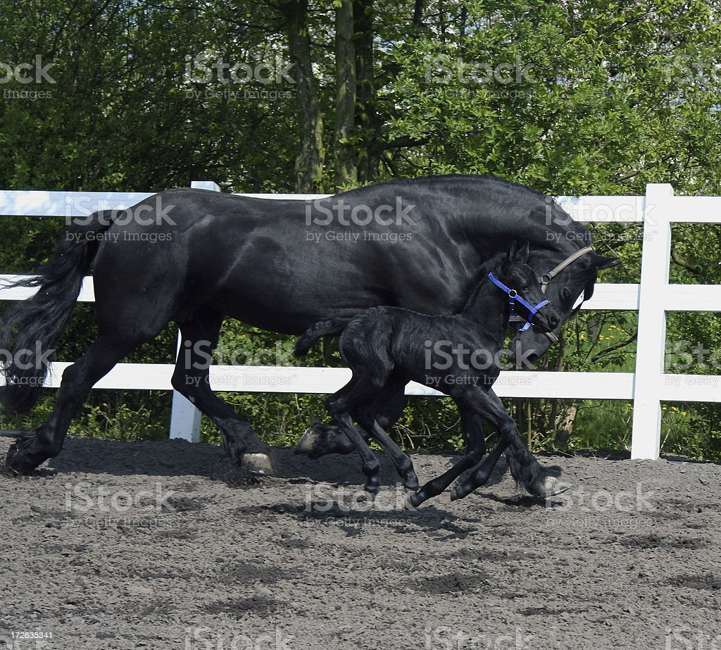 Friesian mother and daughter running 2 royalty-free stock photo