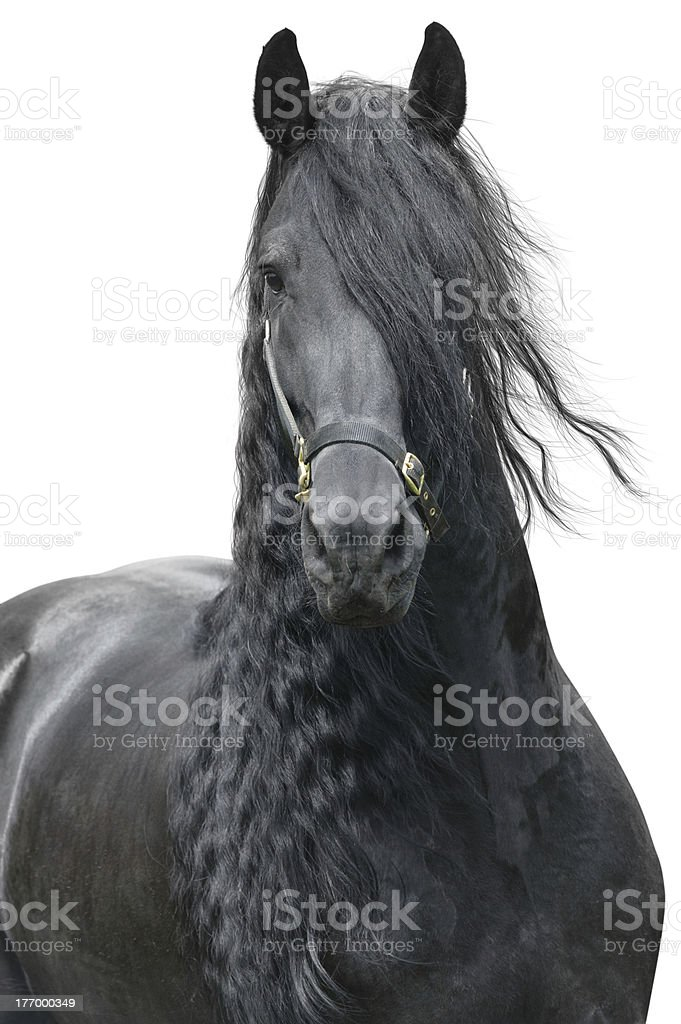 Friesian stallion stock photo