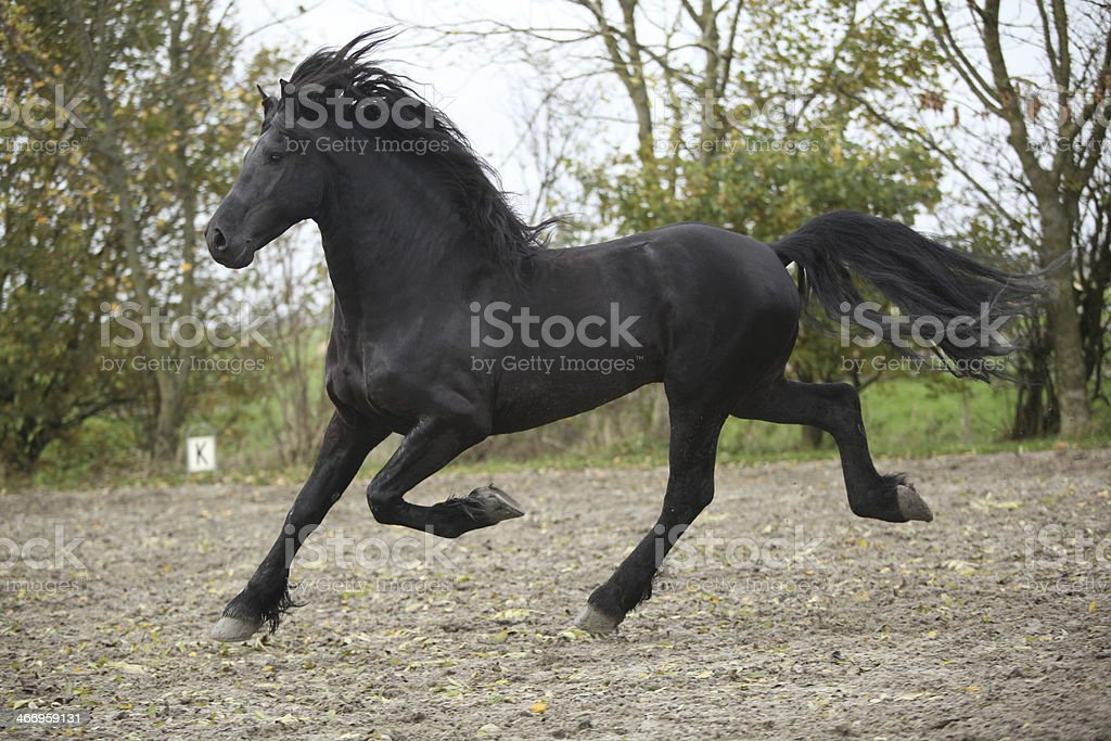 Friesian stallion running on sand in autumn royalty-free stock photo