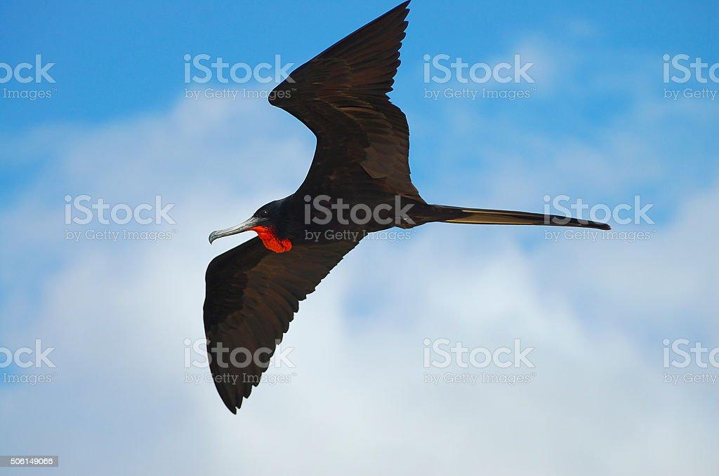 Frigate Bird - Galapagos - Ecuador stock photo