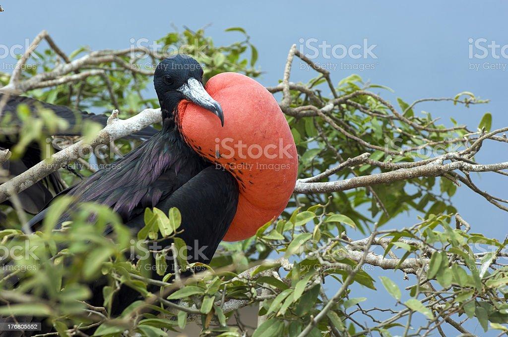 Frigate Bird stock photo