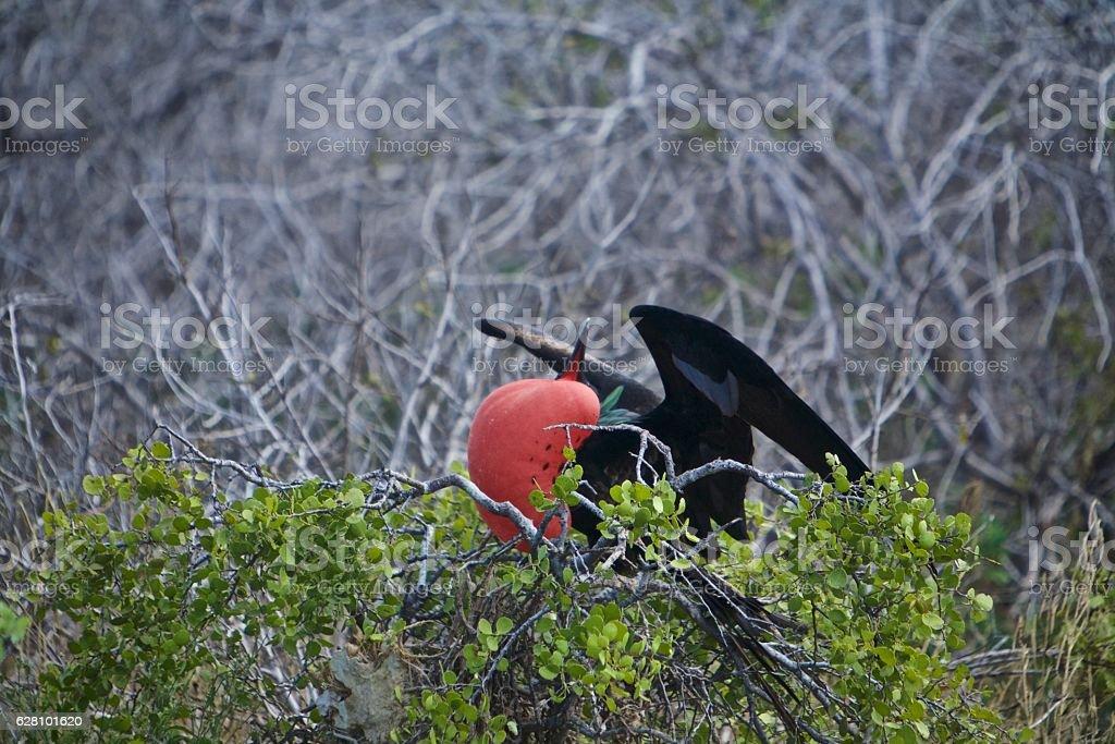 Frigate bird red balloon stock photo