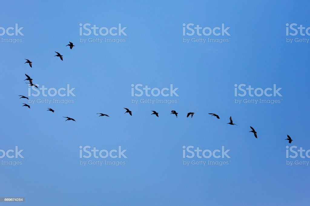 Frigate birds (aka frigates or frigate petrels) appear to get the fishes that died instantly from the shock of changing from salt water to fresh one, in a matter of seconds, when the Panama canal's water lock system fills up the space with fresh water. stock photo