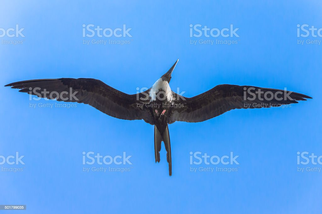 Frigatebird Searching for Fish royalty-free stock photo