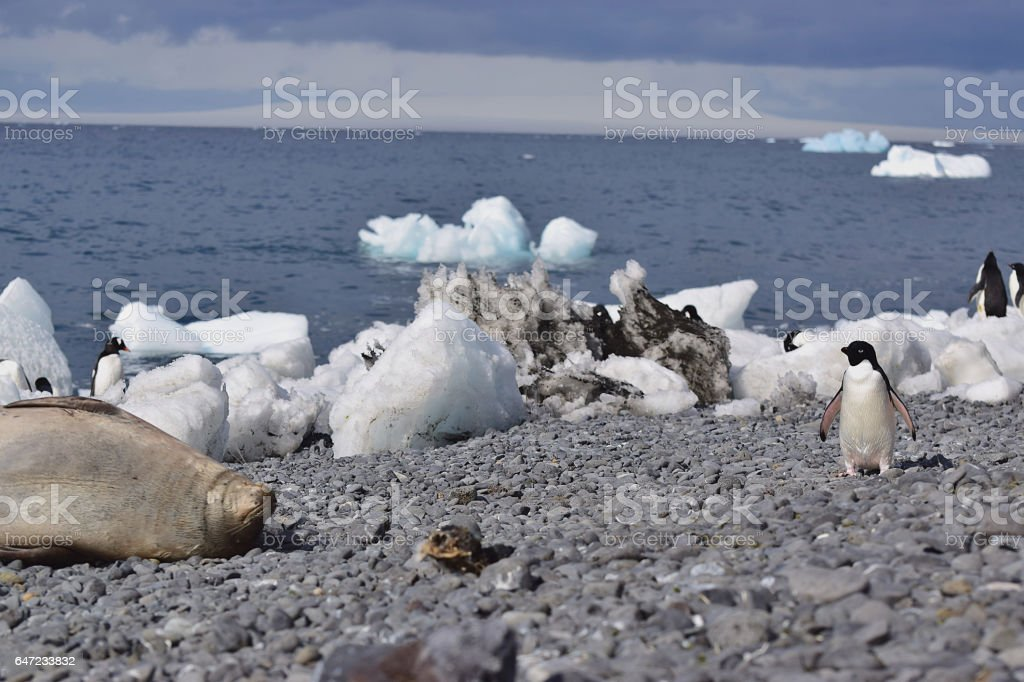 Frightened Adelie Penguin and Weddell Seal stock photo