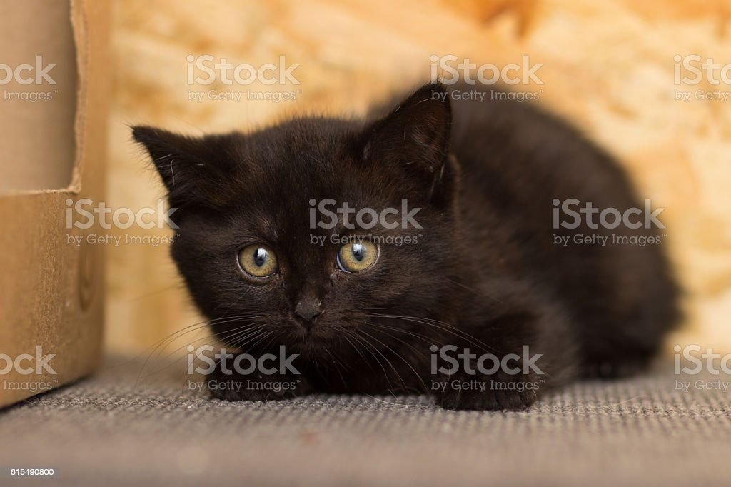 Frightened black kitten sitting on a shelf stock photo