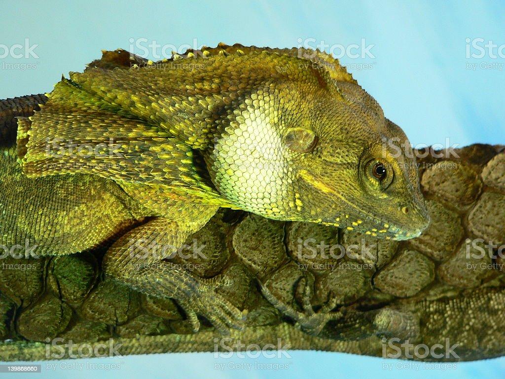 frill neck lizard stock photo