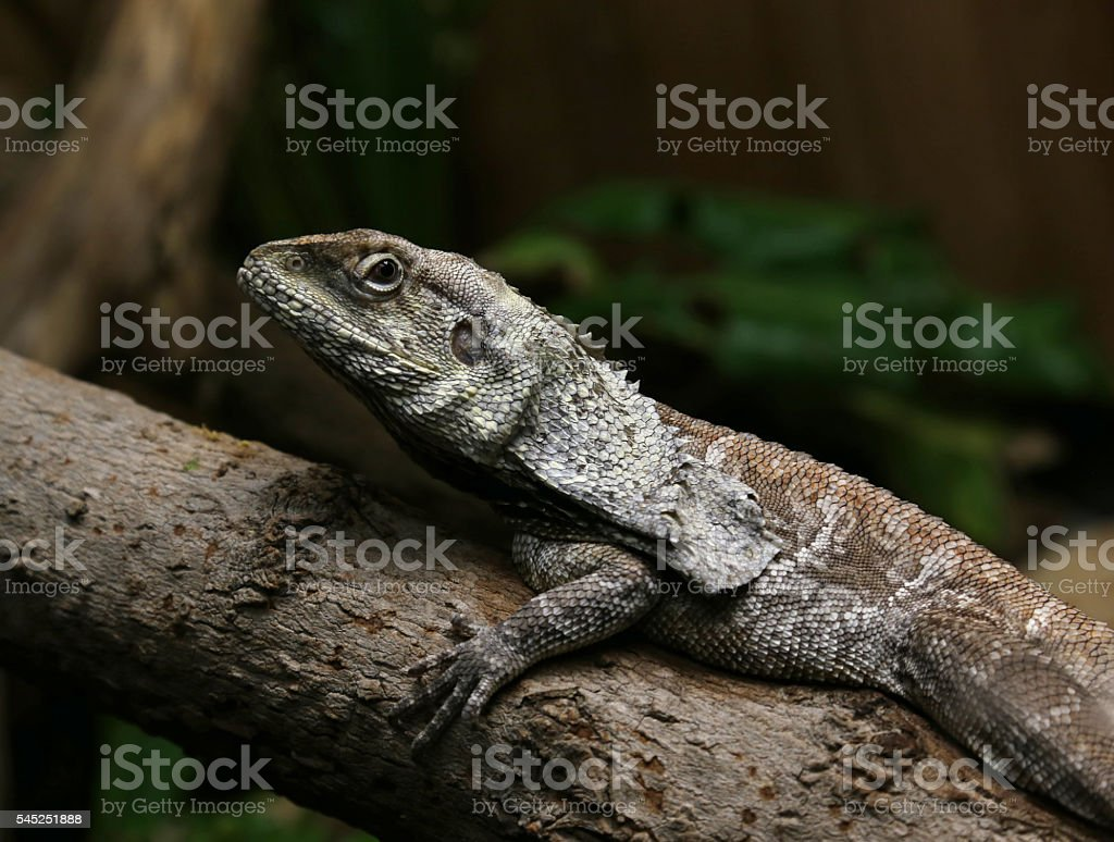 Frilled Lizard Eye Contact stock photo