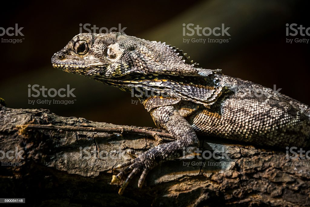 Frilled lizard on branch stock photo