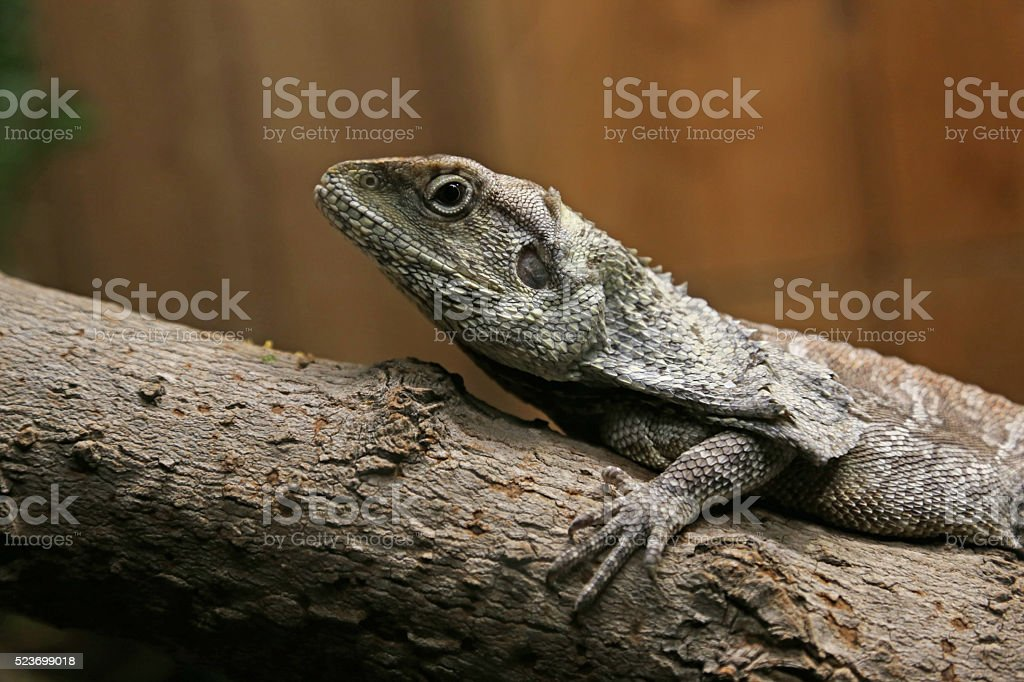 Frilled Lizard Profile stock photo