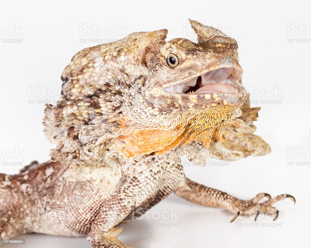 frilled neck lizard stock photo
