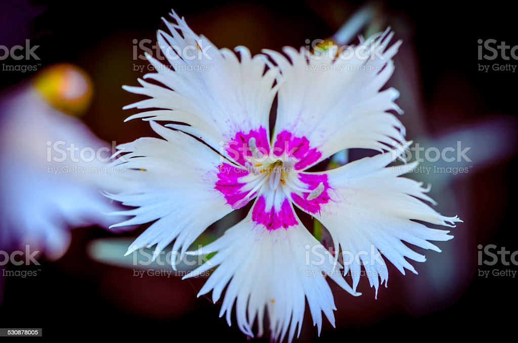 Frilled white Dianthus flower stock photo