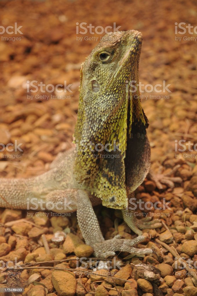 Frilled-neck lizard stock photo