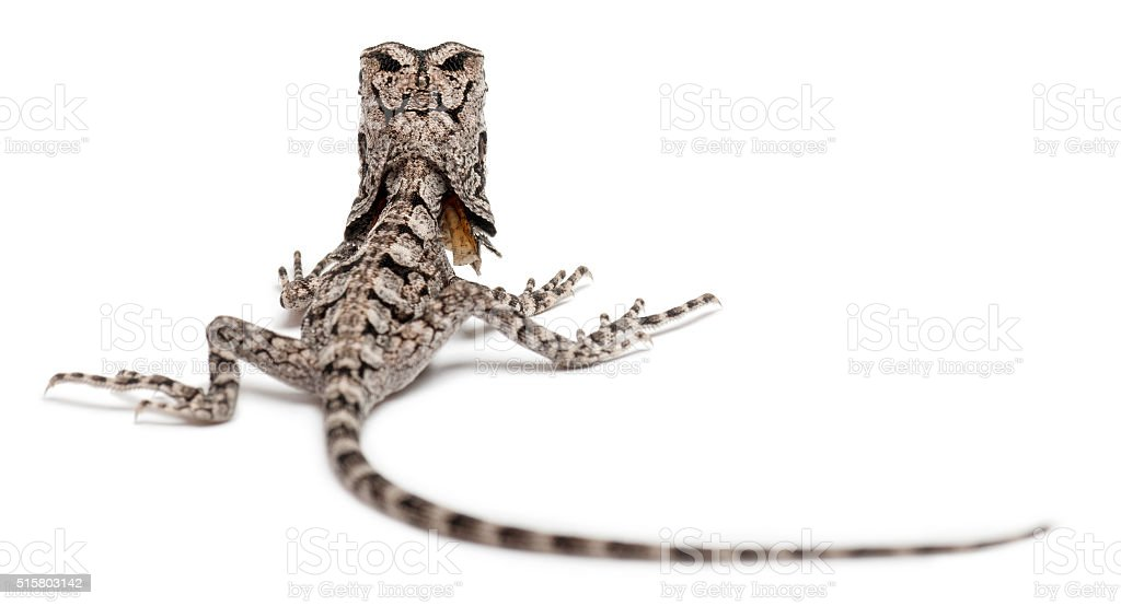 Frill-necked lizard also known as the frilled lizard, Chlamydosaurus kingii, stock photo