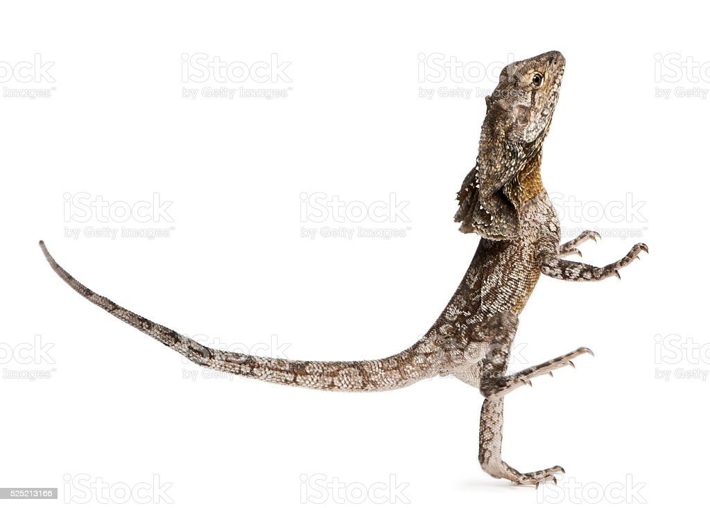 Frill-necked lizard, also known as the frilled lizard, Chlamydosaurus kingii, stock photo