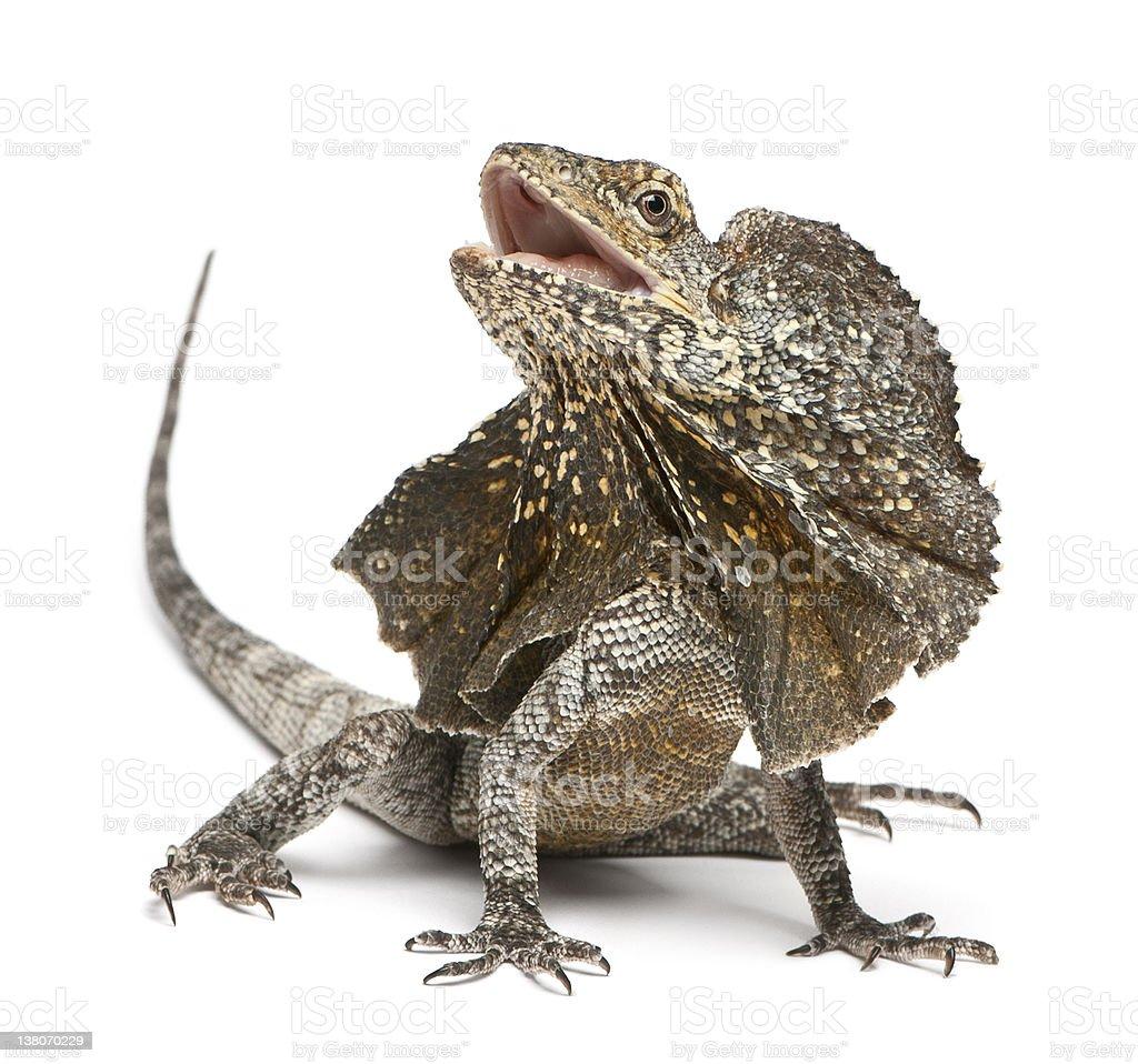 Frill-necked lizard, Chlamydosaurus kingii, in front of white background stock photo