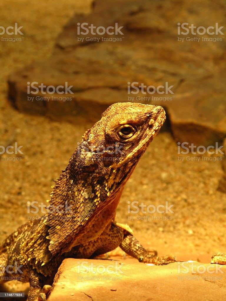 Frill-necked lizard (Chlamydosaurus kingii) royalty-free stock photo