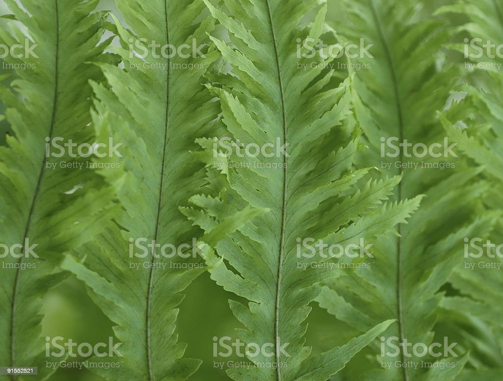 frilly fern leaves royalty-free stock photo
