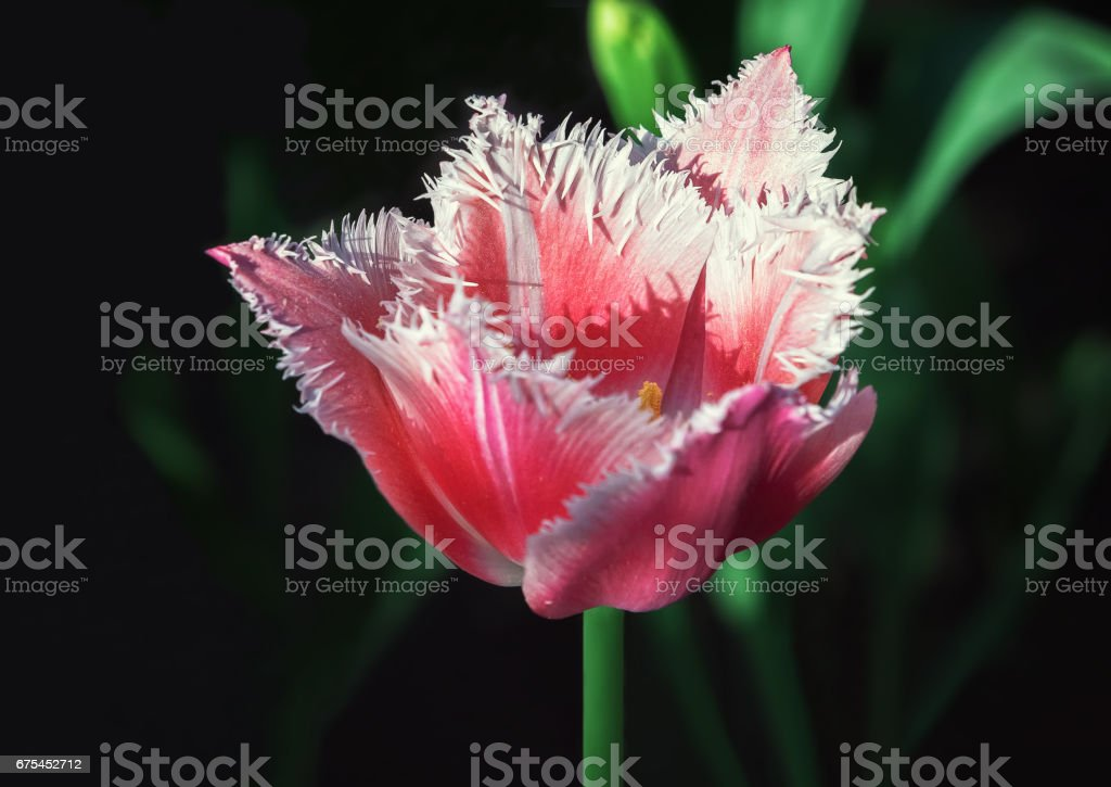 Fringed Red Tulip Closeup stock photo