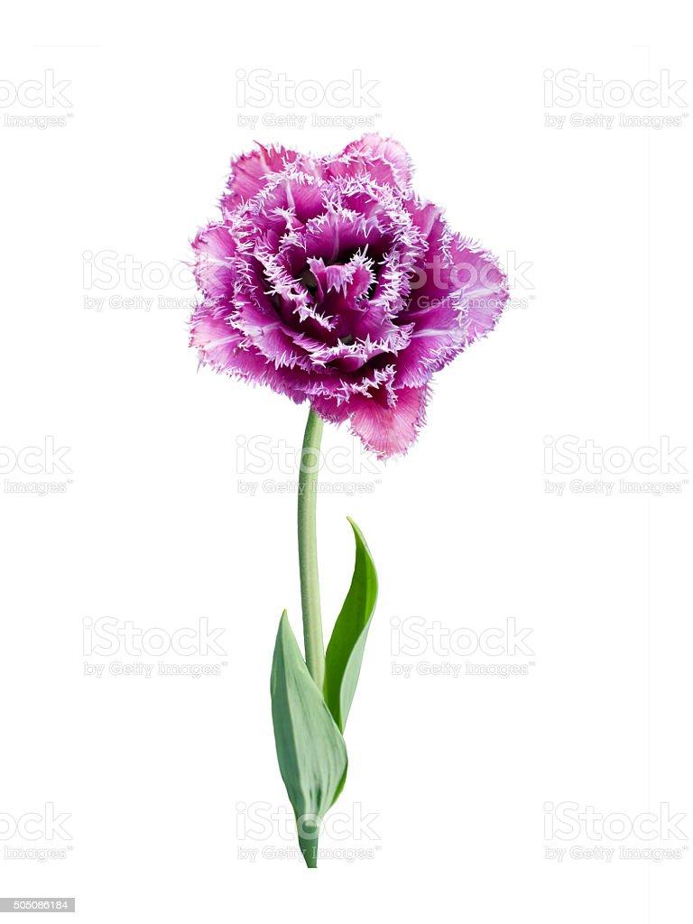 fringed tulip stock photo