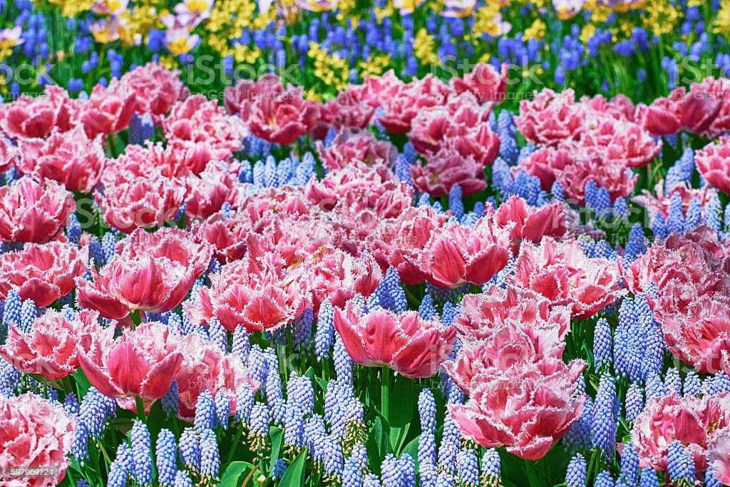 Fringed Tulips Flowerbed stock photo