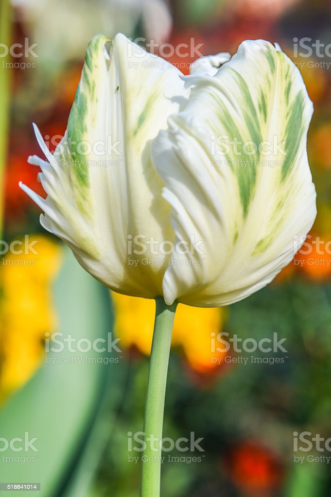 fringed white and green tulip stock photo