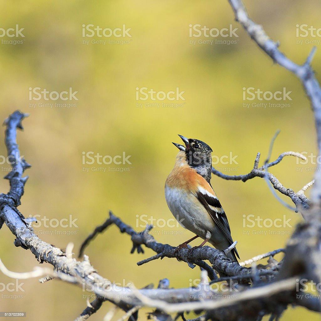 Fringilla montifringilla, Brambling. stock photo